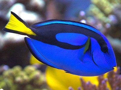 Botana blue tang fish