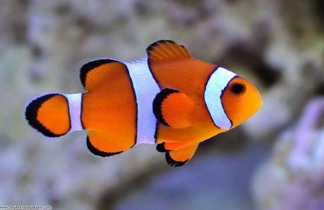 salah satu ikan hias air laut Clown fish