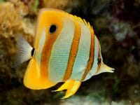 butterfly fish ikan air laut