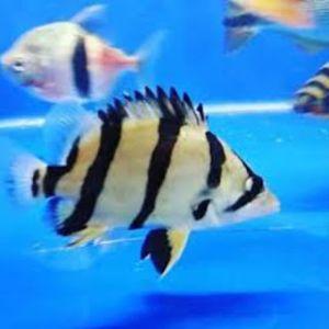 ikan datz silver ntt thailand