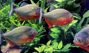 jenis ikan piranha red belly
